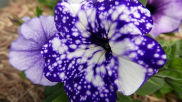 starry-night-petunia-2