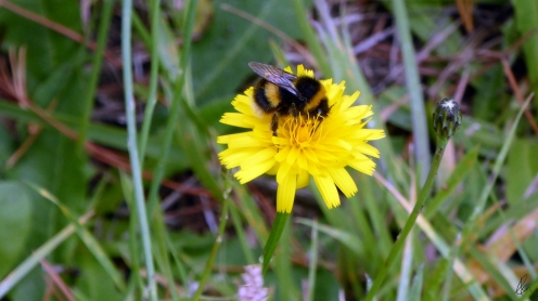 bumble-on-dandelion-2