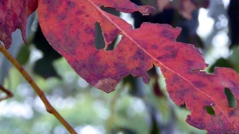 gum-leaf