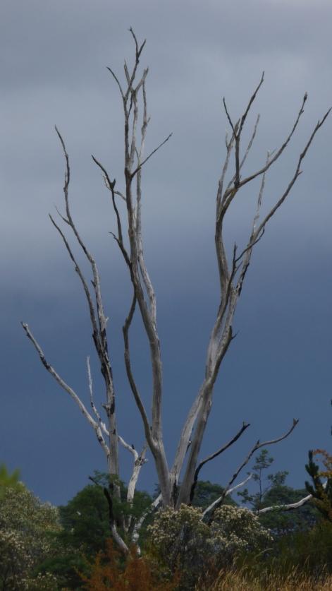 sentinel-tree