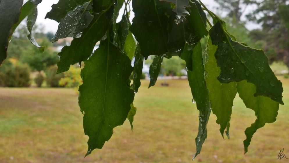 Leaves (1)