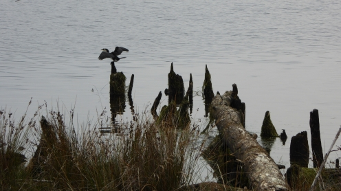 Cormorant on a Post (5)