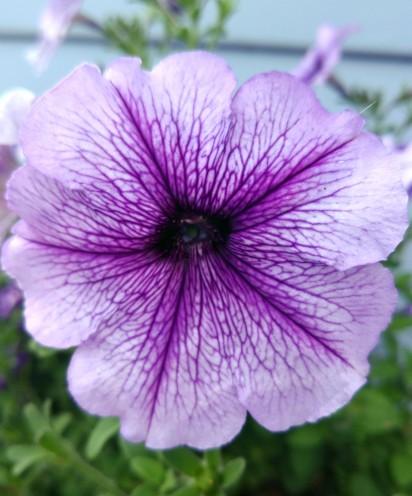 Petunia (3)