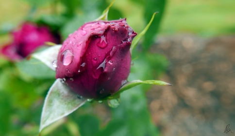 Rosebud and raindrops 2
