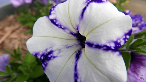Starry Night Petunia (1)