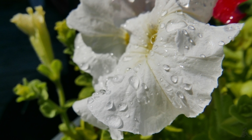 Watered Petunias (2)