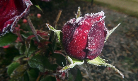 Frosted Rose (1)