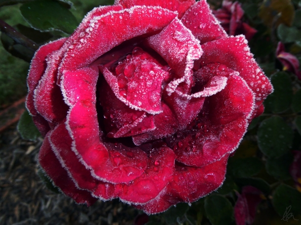 Frosted Rose (2)