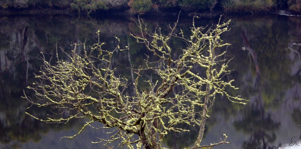 Huon River Lichen Tree