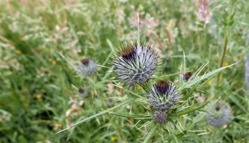 Thistles to be (2)