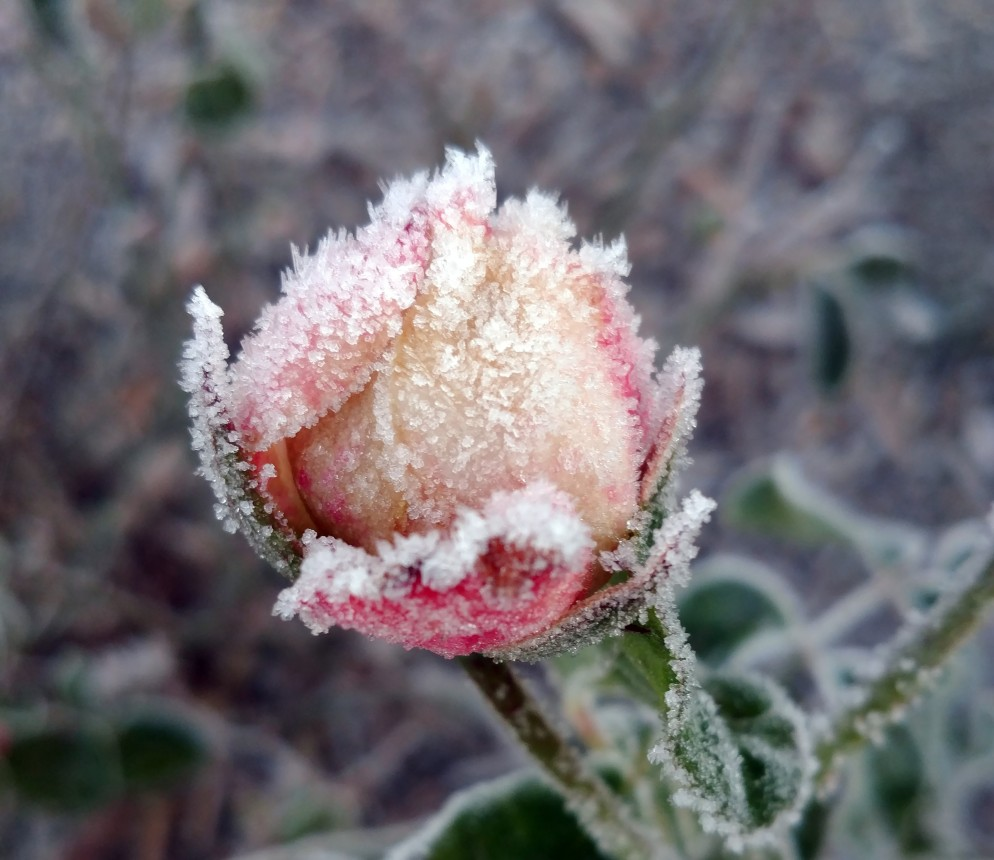 Frost Bud large