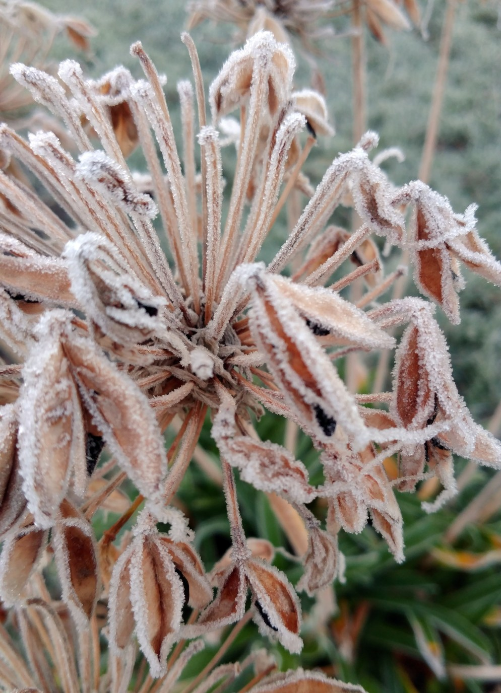 Frosted Agapanthus Heads