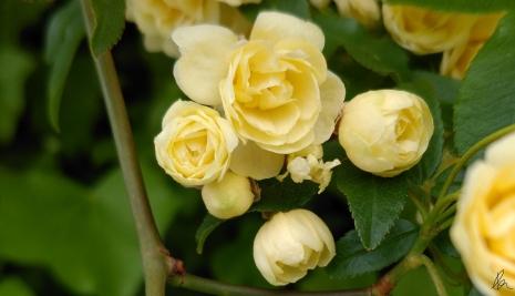 Banksia Rose (2)