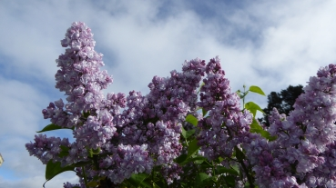 Lilac (2)