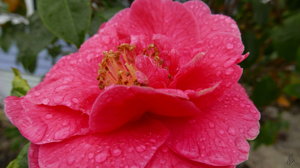 Raindrops on Camellia (2)
