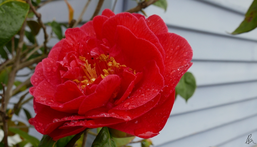 Raindrops on Camellia (3)