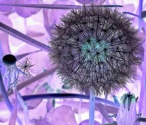 Dandelion (2) Invertes