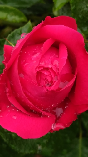 Roses and raindrops (2)