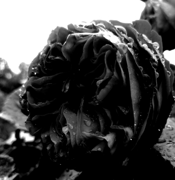 Roses and raindrops (3) B&W