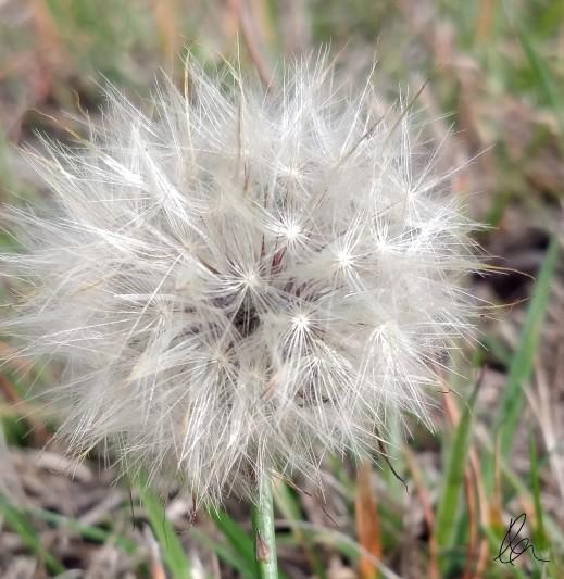 Dandelion Puffs (2)