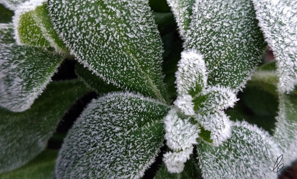 Frosted Rose (3)