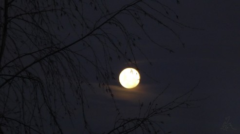 Moon through silver birch (2)