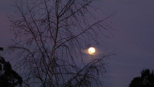 Moon through silver birch