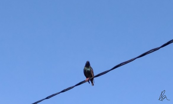 Obvious - Bird on a Wire
