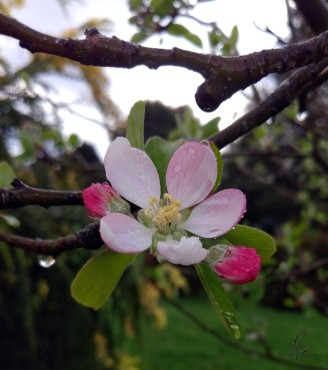 First Apple Blossom