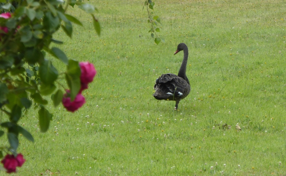 Yoga Swan (2) smaller